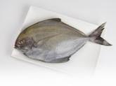 A035-13野生現撈黑鯧魚350g~400g