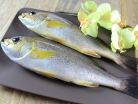 A034-4野生現撈黃雞魚250g~300g